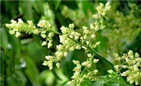 Dịu dàng hương hoa sấu