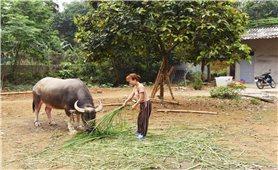 Bảo Thắng (Lào Cai): Dự án nuôi trâu giống sinh sản đang bị