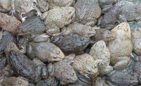 Mô hình nuôi ếch trong bể xi măng
