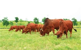 Phương thức vỗ béo bò thịt