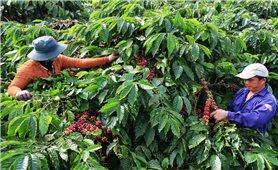Giá cà phê hôm nay 19/7: Thị trường trong nước giữ ổn định