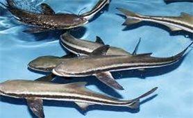 Kỹ thuật nuôi cá bớp thương phẩm hiệu quả