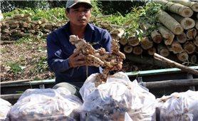 Gừng Việt Nam chinh phục thị trường Australia