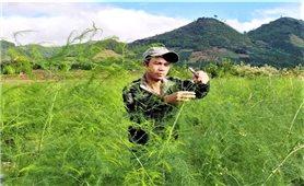 Đắk Nông: Hiệu quả cây măng tây xanh ở vùng sâu Quảng Hòa