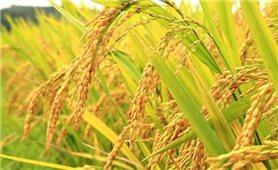 Giá lúa gạo hôm nay 26/7: Giá gạo tăng giảm trái chiều