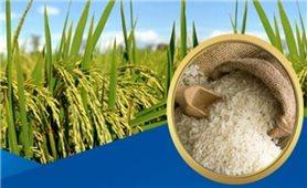 Giá lúa gạo hôm nay 28/7: Thị trường giao dịch trầm lắng