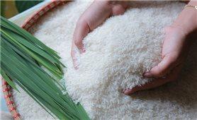 Giá lúa gạo hôm nay 30/7: Giá lúa OM 5451 5.500 - 5.700 đồng/kg