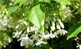 Cây mộc hoa trắng có tác dụng chữa bệnh gì?
