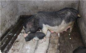Hỗ trợ nâng tầm thương hiệu an toàn sinh học cho đặc sản lợn Lũng Pù