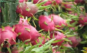 Nông sản Việt được ưa chuộng tại thị trường Trung Quốc