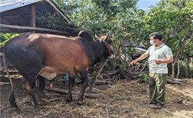 Gia Lai: Đồng bào dân tộc thiểu số tích cực lai cải tạo đàn bò