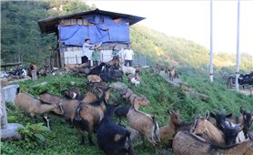 Làm giàu từ mô hình liên kết nuôi dê trên vùng cao núi đá