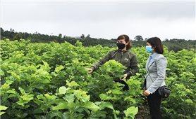 Nghề trồng dâu nuôi tằm ở Đắk Nông đang có xu hướng phát triển