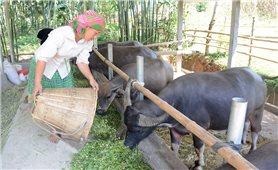 Nuôi trâu, bò vỗ béo: Hướng giảm nghèo của người dân vùng cao