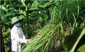 """Nông dân Lào Cai vẫn trong vòng luẩn quẩn """"trồng rồi chặt, chặt rồi lại trồng"""""""