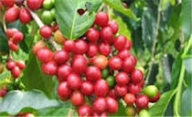 Giá cà phê hôm nay 20/10: Đồng loạt quay đầu tăng
