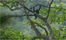 Nhiều thách thức trong công tác bảo tồn loài vượn đen má trắng