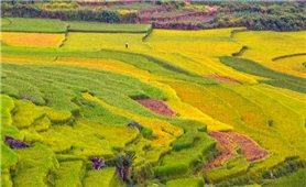 Mùa vàng ở miền núi xứ Thanh