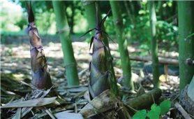 Kỹ thuật trồng và chăm sóc cây tre lấy măng