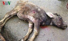 Số gia súc bị chết rét ở Yên Bái tăng lên gần 100 con