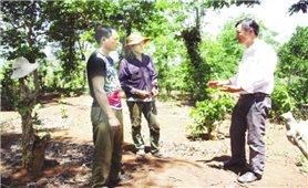 Nhiều vướng mắc trong quá trình tái canh cà phê ở Tây Nguyên