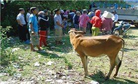 Đi nhận bò giống cùng người dân Canh Vinh