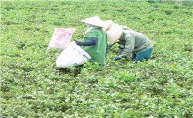 Trồng chè VietGap ở vùng sâu Lâm Đồng