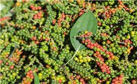Hỗ trợ người trồng hồ tiêu tại Đồng Nai
