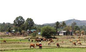 Xóm chăn bò trên đèo Chư Sê