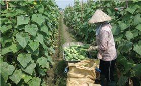 Thu nhập cao từ trồng dưa chuột trên đất lúa