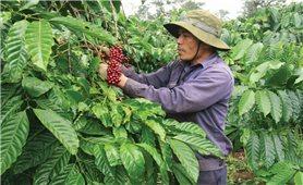 Giải pháp tăng năng suất cho cây cà phê