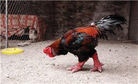 Kỹ thuật nuôi gà Đông Tảo