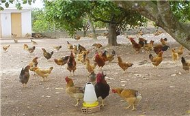 Những bệnh thường gặp khi nuôi gà thả vườn