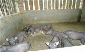 Kỹ thuật chăn nuôi lợn mán