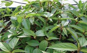 Tác dụng chữa bệnh từ cây rau đay