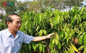 Nông dân Gia Lai vẫn khó tiếp cận vay vốn tái canh cà phê