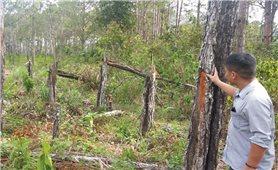 Rừng thông 2 lá ở Huyện Khánh Sơn (khánh hòa): Cần có biện pháp bảo vệ trước khi quá muộn