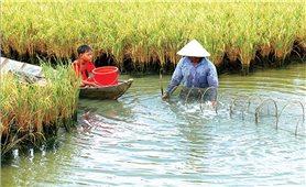 Đồng bằng Sông cửu Long: Mô hình tôm-lúa gặp khó do biến đổi khí hậu