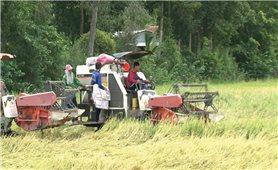 Nông dân lao đao vì thương lái ép giá thu mua lúa
