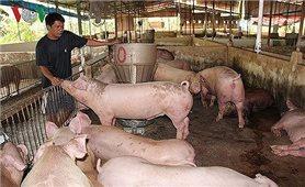 Giá lợn hơi tăng kỷ lục do mất cân đối cung - cầu cục bộ