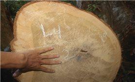 Bình Định: Cần sớm tìm ra thủ phạm trong vụ khai thác rừng trái phép tại Vĩnh Thạnh