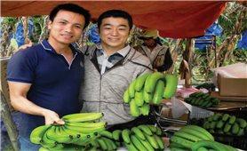 Trồng chuối Laba xuất khẩu sang thị trường Nhật Bản