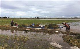 Chính quyền khuyến cáo người dân ĐBSCL gặt lúa sớm