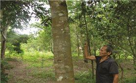 Triển vọng nghề rừng từ giống cây bản địa
