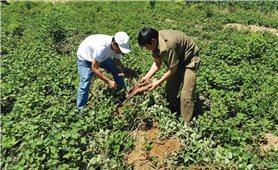 Nông dân mang nợ vì liên kết trồng khoai lang Nhật