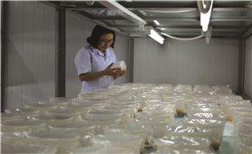 Cơ hội phát triển nấm đông trùng hạ thảo ở Thanh Hóa