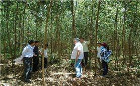 Quảng Ngãi: Hướng đến trồng và khai thác rừng bền vững