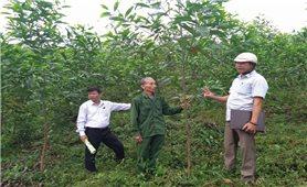 Đòn bẩy cho kinh tế lâm nghiệp ở Minh Hóa: Tín hiệu vui từ trồng rừng gỗ lớn