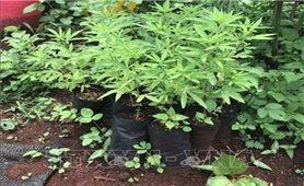 Gia Lai: Phát hiện, xử lý một hộ dân trồng cây cần sa trong vườn nhà