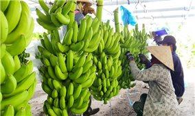 Quảng Ngãi: Chuối Nam Mỹ mở đường cho nông sản xuất khẩu